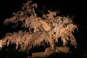 円山公園の枝垂れ桜