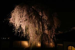 高台寺「夢鏡」枝垂れ桜