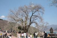 光輪寺荘川桜